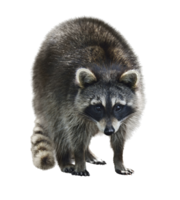 Wildlife Removal Mississauga Animal Control Solutions
